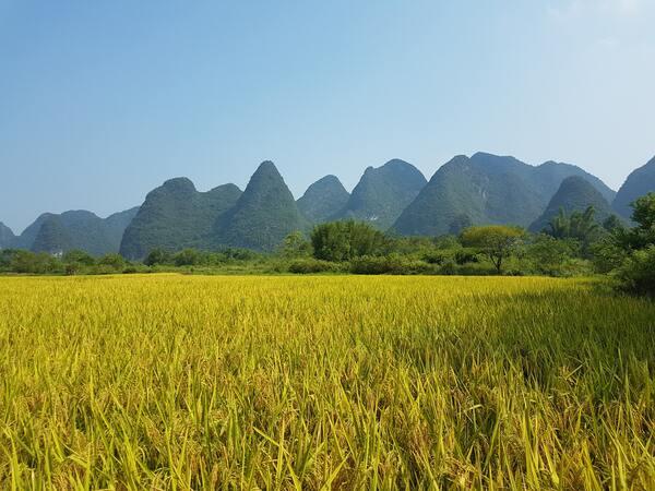 cultivo de arroz - Agromark SA
